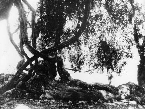 The vine of Pausanias in Pangrati